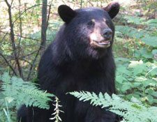 A black bear, upright on two legs, emerges from the forest.