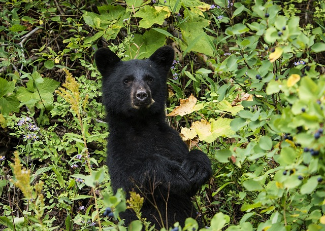 A bear on two legs peers out from a lush green forest canopy.