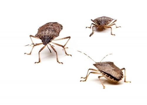 Three Brown Stink Bugs