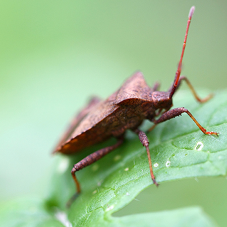 removing stink bugs