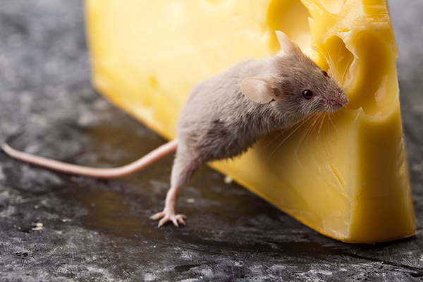 mouse cheese