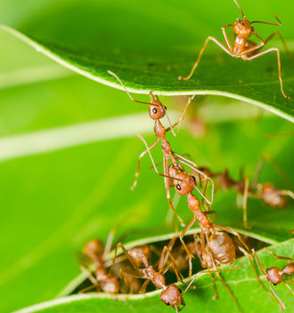 Red ants build home