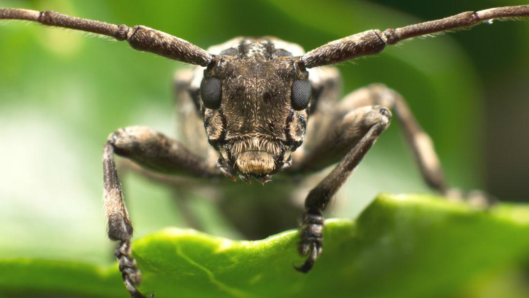 Asian-Longhorned-Beetle