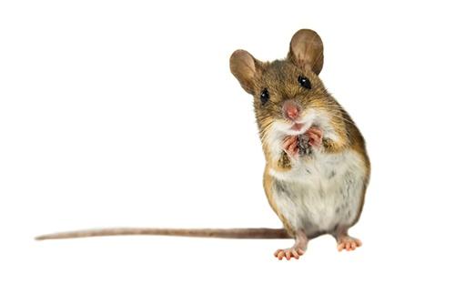 Winter-Rodent-Infestation