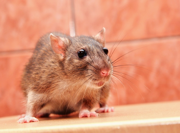 Rodent-Control-Holistic-Pest-Solutions