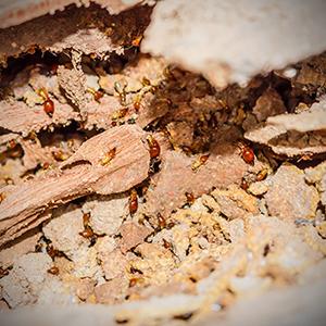 Termite-Control-Holistic-Pest-Solutions