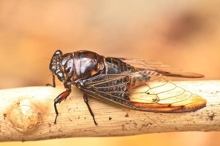 Cicadas, A Very Temporary Pest