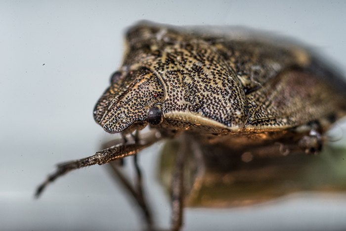 Stop Stink Bugs Before It's Too Late
