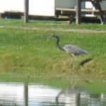 lakebird