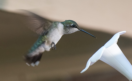 Capturing Hummingbirds with Fuji X-E2 with 55-200mm
