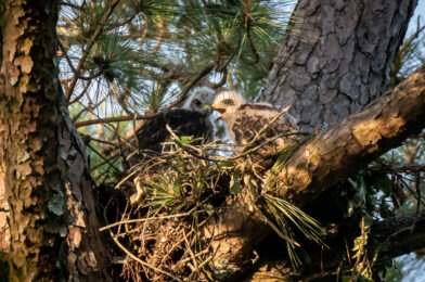 Enjoying Red-Tailed Hawks nest in our backyard