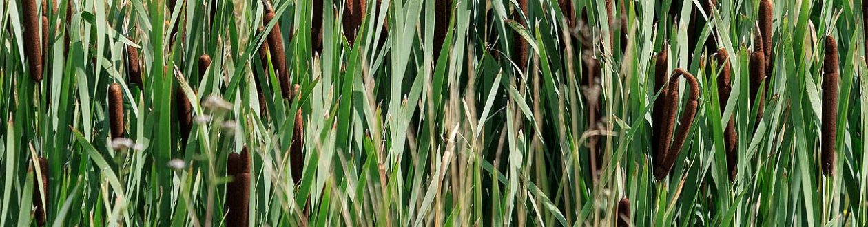 Cattail growing outside of the Mercer Stendal pulp mill in Arneburg, Germany
