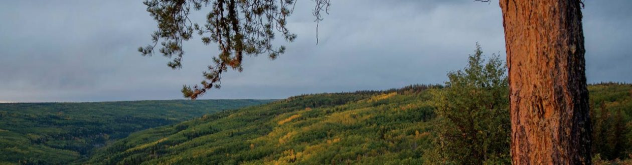 A spruce tree overlooks the Peace River in a valley of Alberta, Canada as the leaves turn yellow.