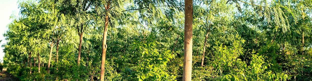 Santanol Sandalwood plantation in Kununurra, Western Australia