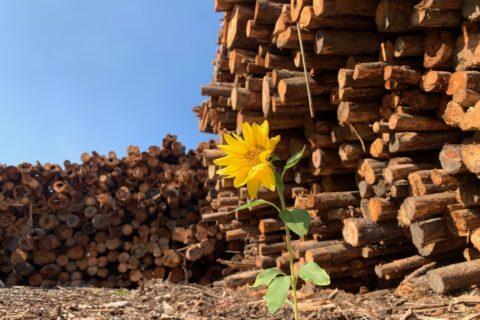 Sunflower growing in the log yard of Mercer Celgar pulp mill in Castlegar, British Columbia, Canada