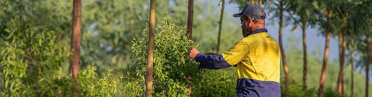 Santanol team member inspecting the Sandalwood trees in the plantations of Kununurra, Western Australia
