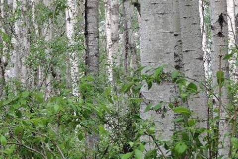 Aspen growth in Mercer Peace River's forest management area