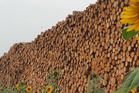 A sunflower in a roundwood yard at a Mercer Timber Products site