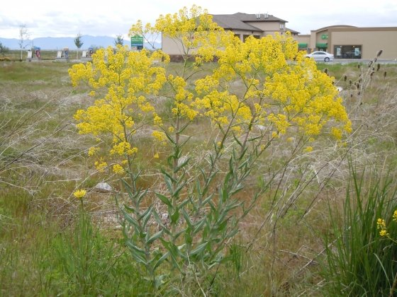 Learn to spot:  Dyer's Woad