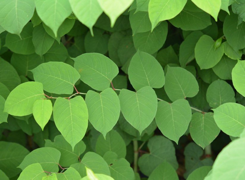 Learn to spot:  Knotweed