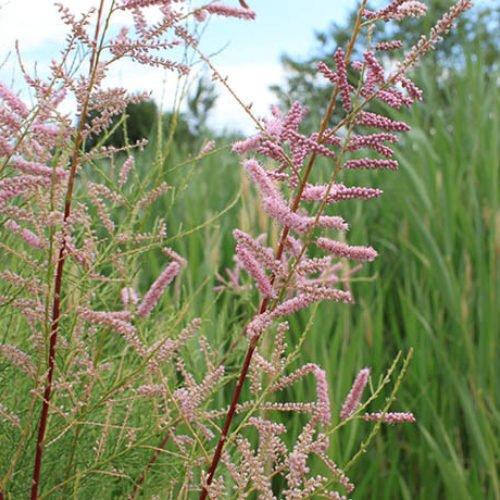 Learn to spot:  Salt Cedar