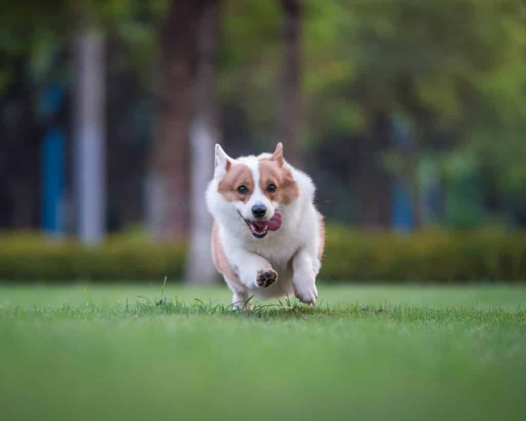 Corgi with tongue out running on grass outside