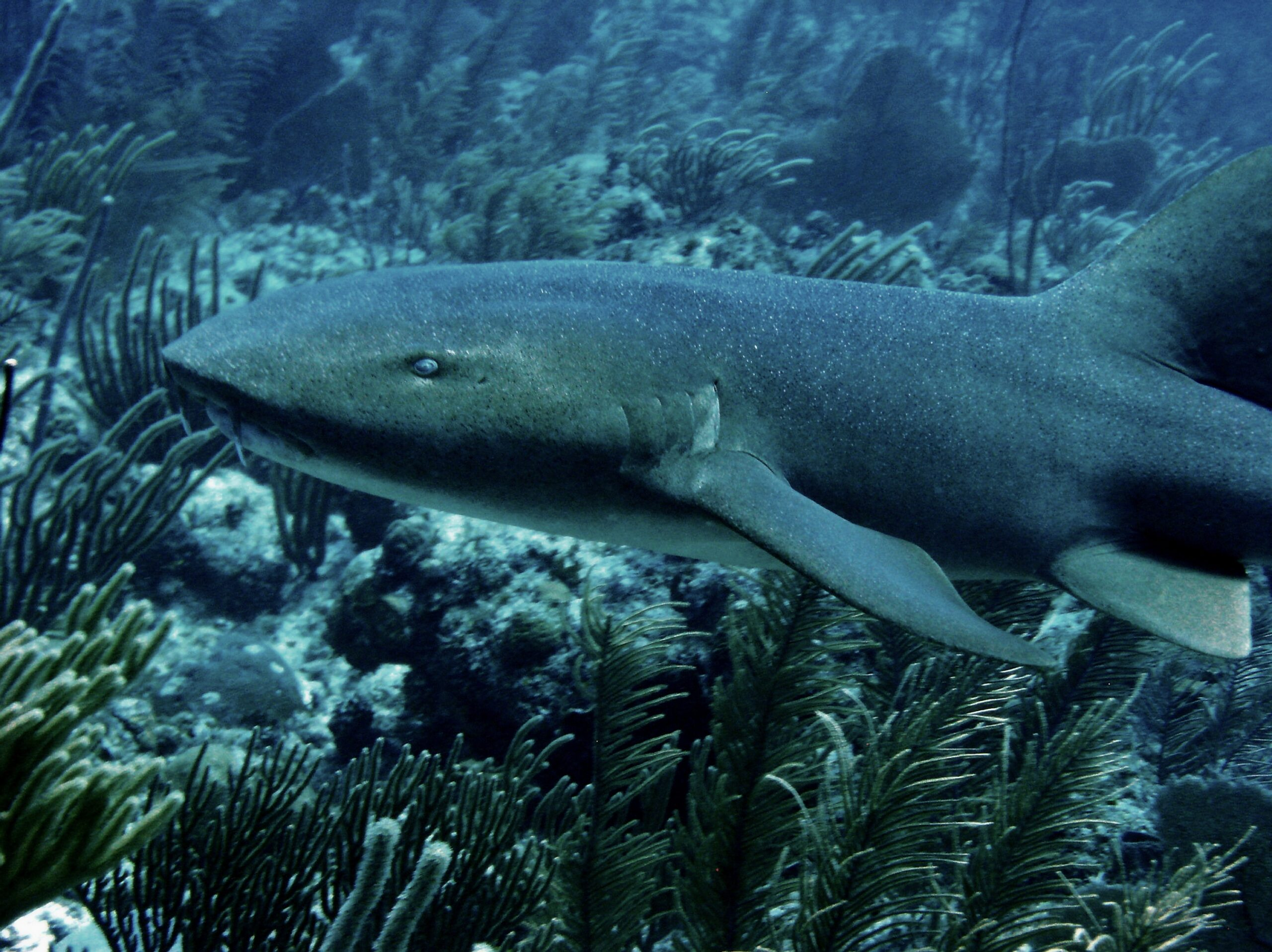 Nurse shark, Ambergris Caye, Belize