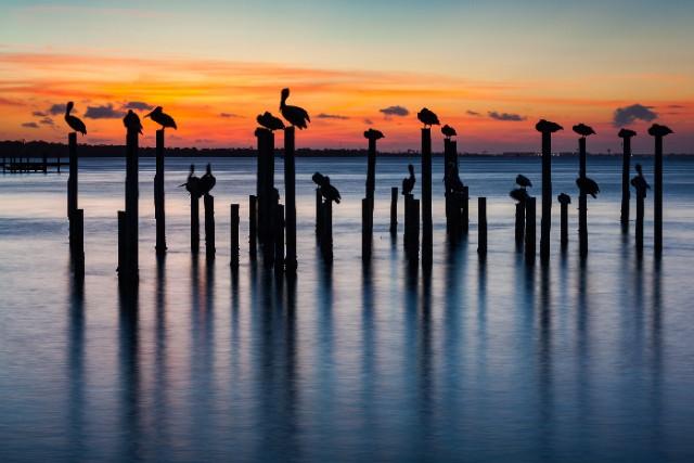 pelicans in the Destin harbor