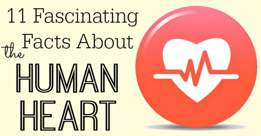 11 Fascinating Facts About the Human Heart