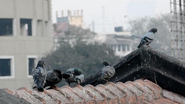 pigeons-mumbai