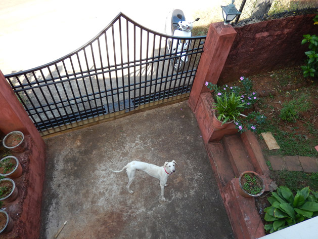 Our house's faithful guard dog, Buzo.