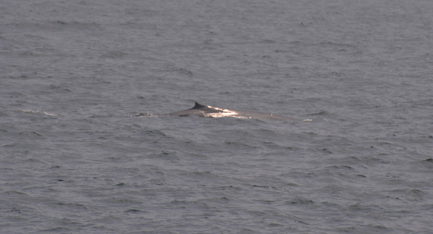 My first blue whale sighting!