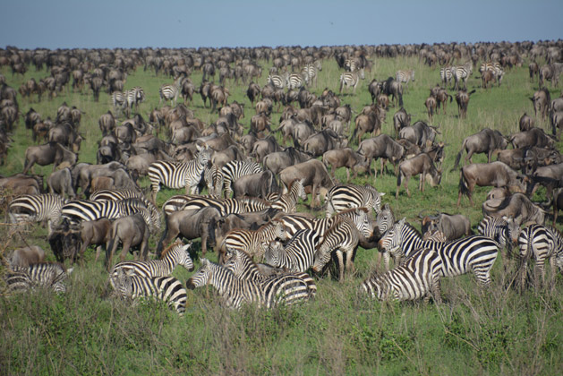 Crowds of Zebras and Wildebeests in the Serengeti