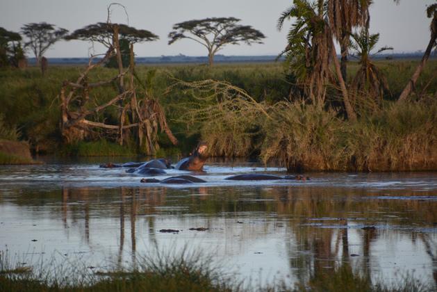hippos-629