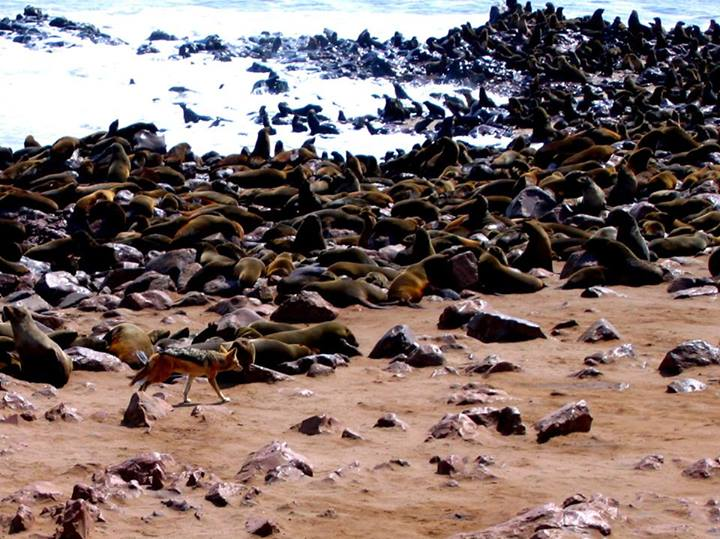 """From Donny: We took this photo while on an overland safari in Africa. The Cape Cross Fur Seal Colony is located along Namibia's Skeleton Coast. Here a lone jackal searches the seal """"crowd"""" for an easy lunch."""