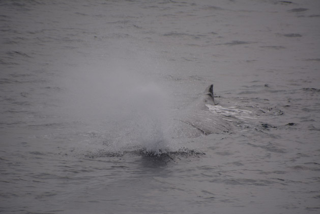A sperm whale surfacing.