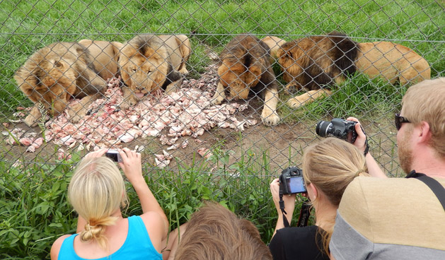 lion-feed