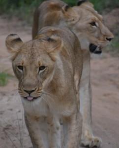 lions-on-hunt
