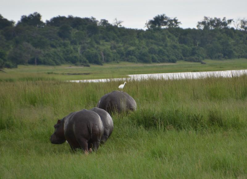 hippos-birds-455