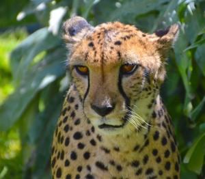 cheetah-orange-eyes-550