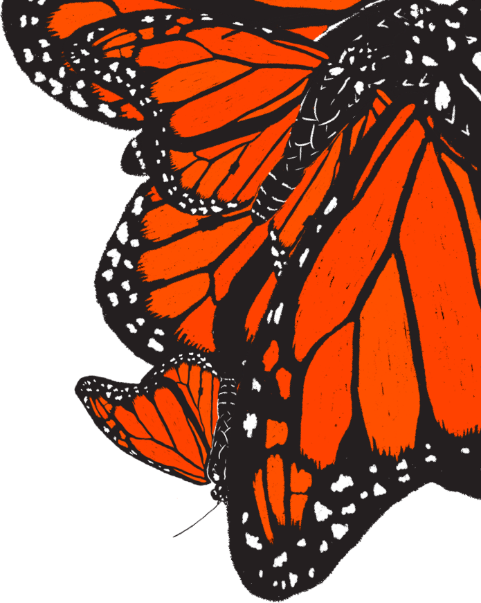 Illustration of a cluster of Monarch Butterflies