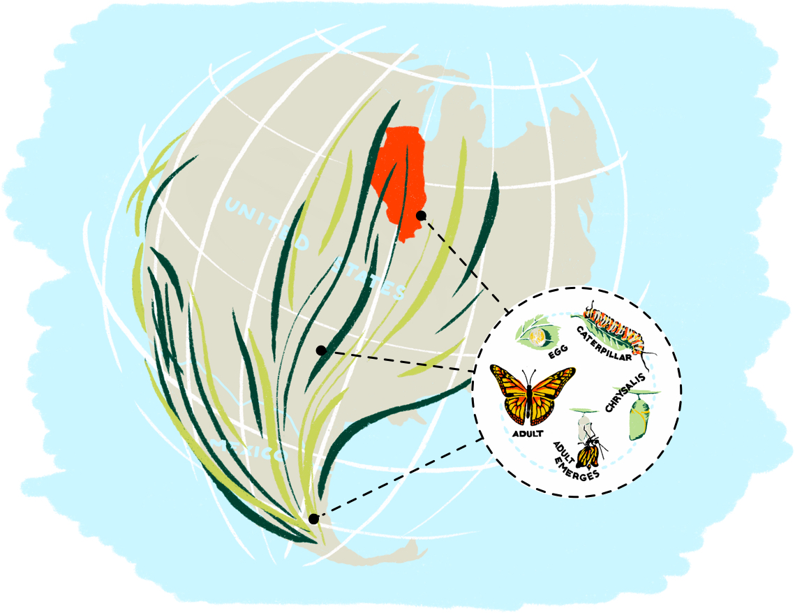 illustrated map of the Monarch migration and lifecycle