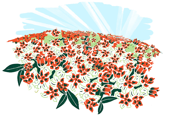 Illustration Of A Field Of Milkweed Plants