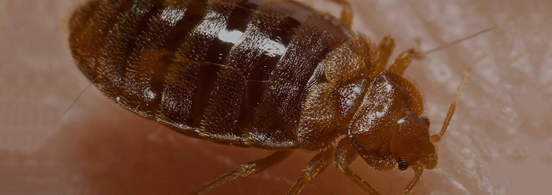 Bed Bug Exterminator Phoenix-AZ