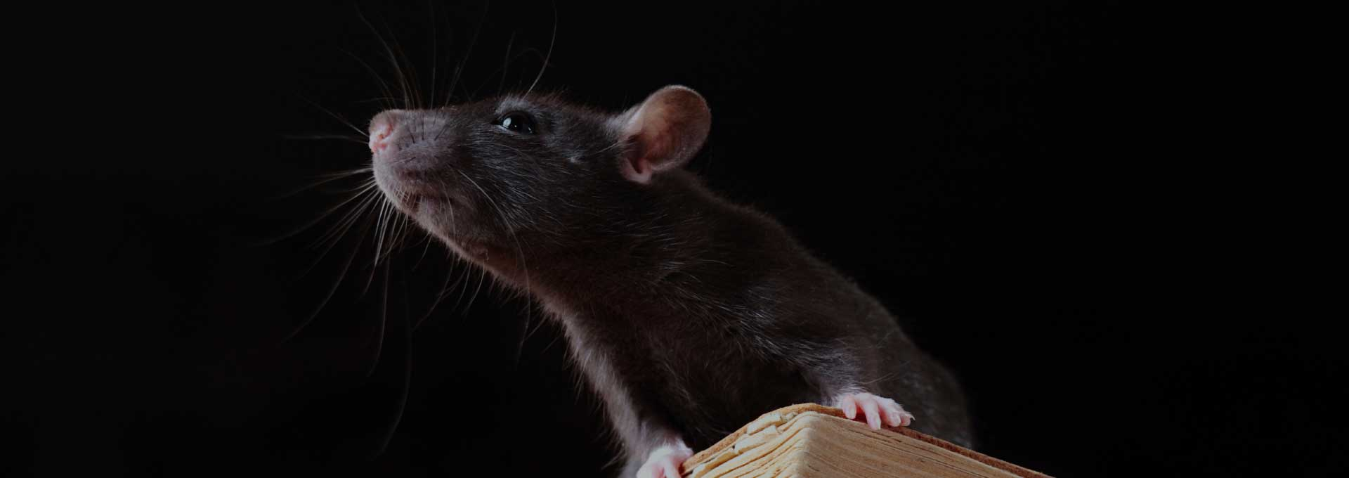 Rat Control Phoenix AZ