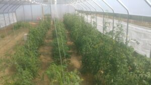 Tomatoes in the High Tunnel