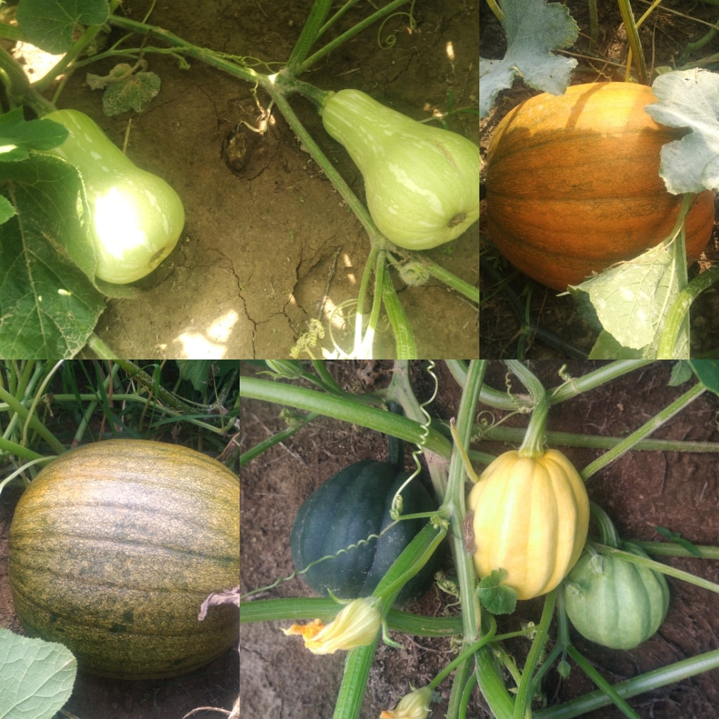 Squash, gourds, and pumpkins from Christopher Farms.