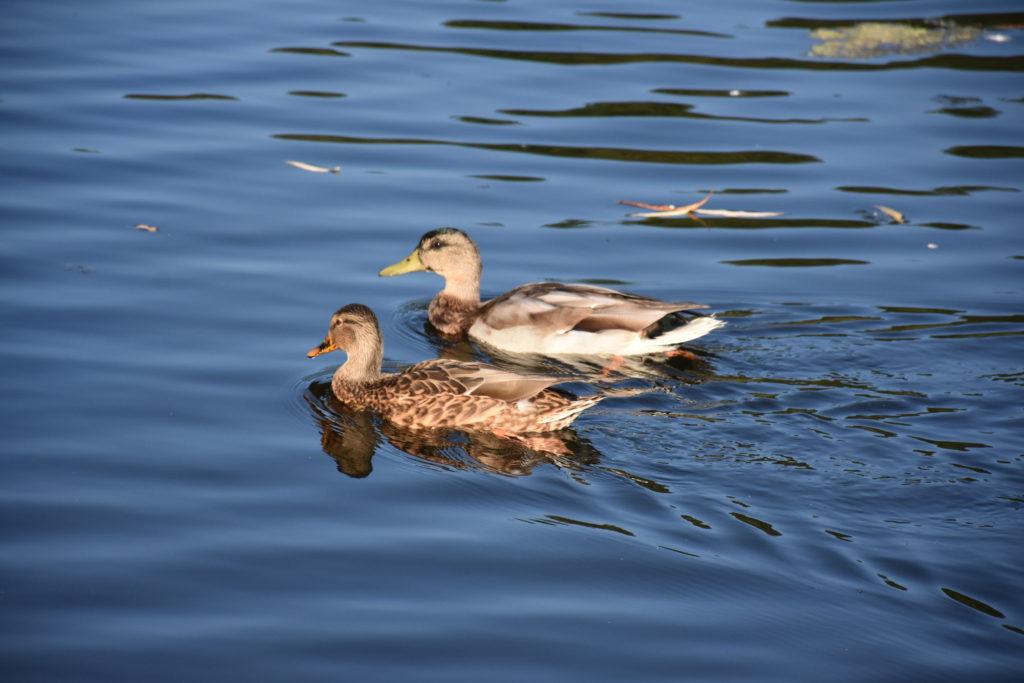 Ducks at Beaverpond