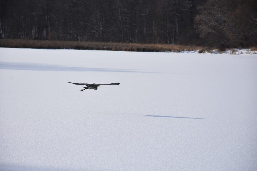 Heron flying over frozen BP