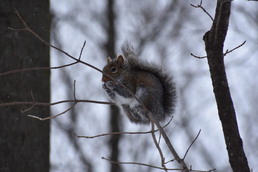 Winter squirrel (Megan)